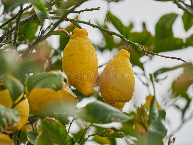 肥满,成熟,水多的柠檬准备好在一棵柠檬树的收获在风神海岛,西西里岛,意大利 免版税图库摄影