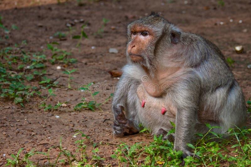 肥胖叫化子猴子特写镜头在吴哥窟的 图库摄影