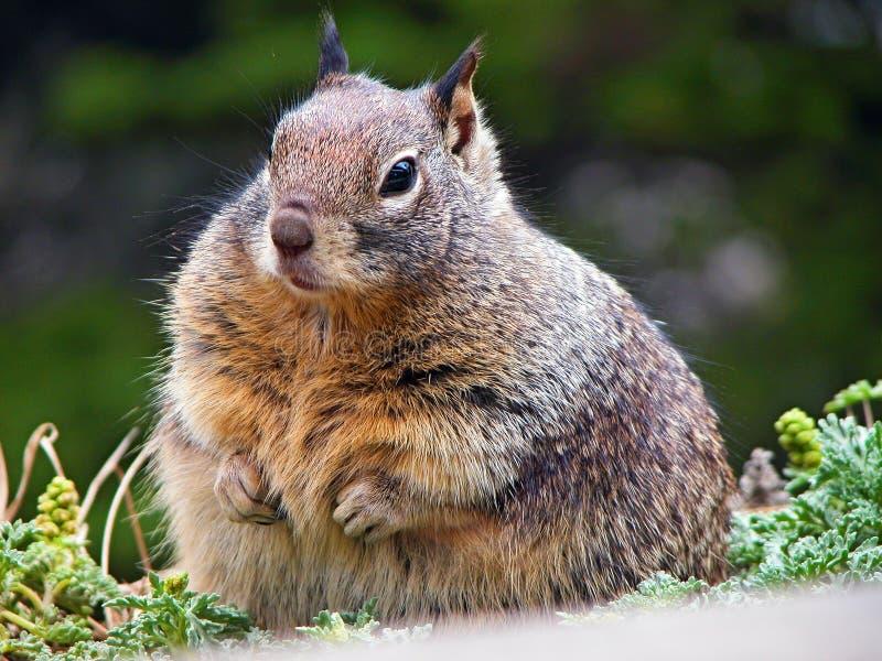 肥胖灰鼠 库存图片