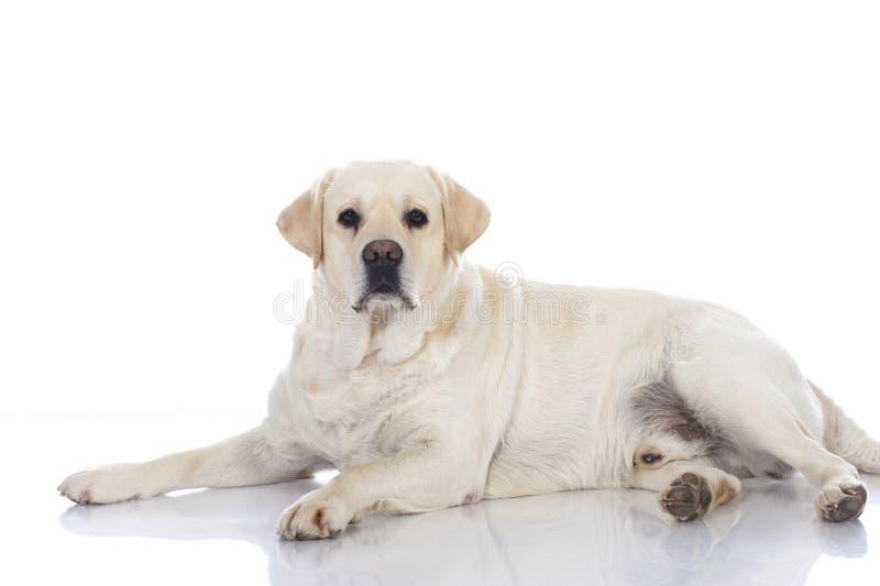 肥胖猎犬狗 免版税图库摄影
