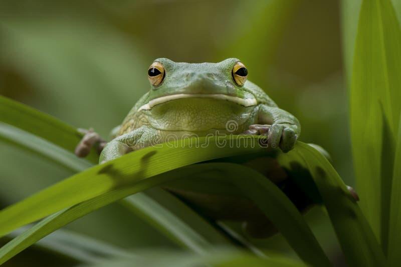 肥胖青蛙 库存照片