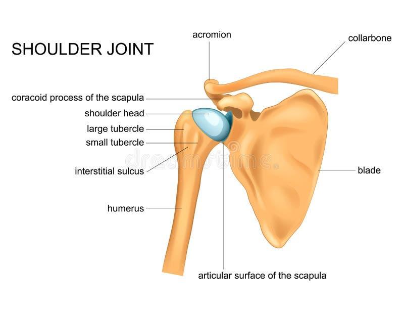 肩关节的解剖学 库存例证