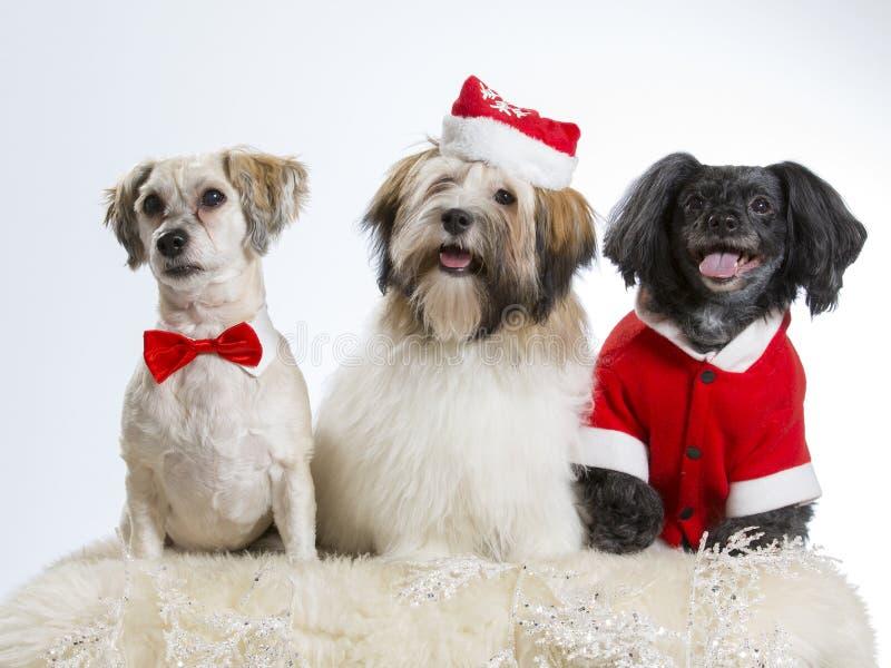 肩并肩三条圣诞节狗 免版税库存照片