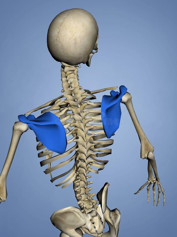 肩胛骨M-SKEL-SCAPULA 11, 3D模型 库存例证
