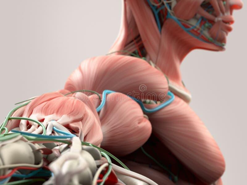 肩膀、胳膊和脖子人的解剖学细节  骨头结构,肌肉,动脉 在简单的演播室背景 库存例证