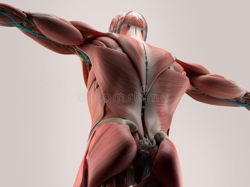 肩膀人的解剖学细节  在简单的演播室背景的骨头结构 后面,脊椎人的解剖学细节  肌肉 在简单的s 皇族释放例证