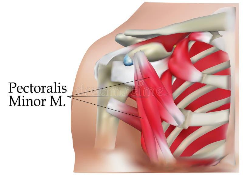 肩膀解剖学  向量例证
