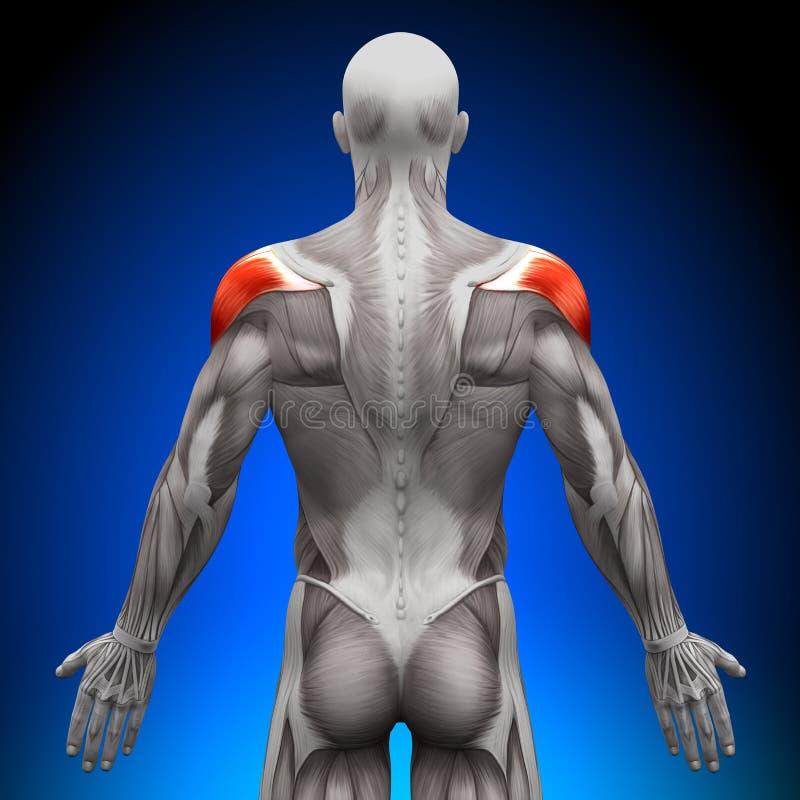 肩膀-解剖学肌肉 向量例证