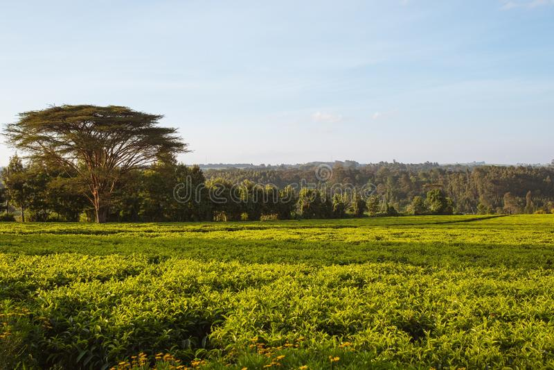 肯尼亚内罗毕的蓝天下,绿田的美丽景色和令人惊叹的树木 免版税库存照片