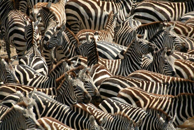 肯尼亚斑马 免版税库存图片
