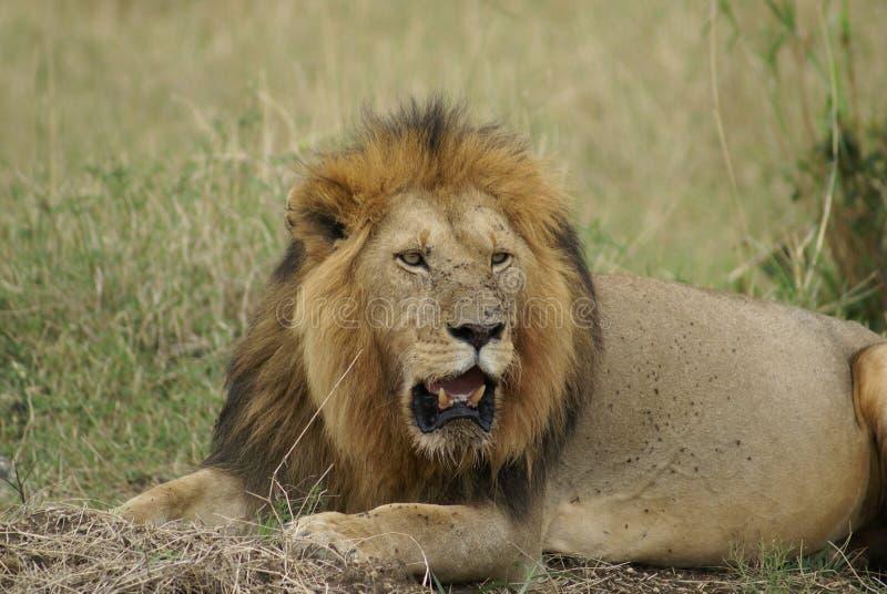 肯尼亚狮子 图库摄影