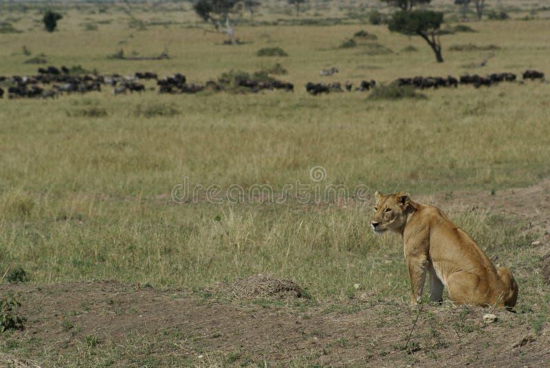 肯尼亚狮子 库存照片