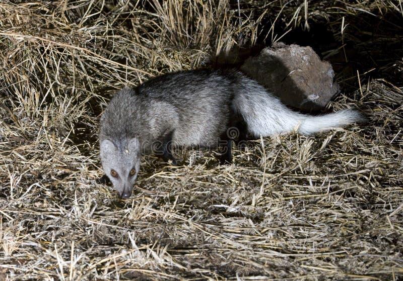 肯尼亚猫鼬大草原被盯梢的白色 免版税库存图片