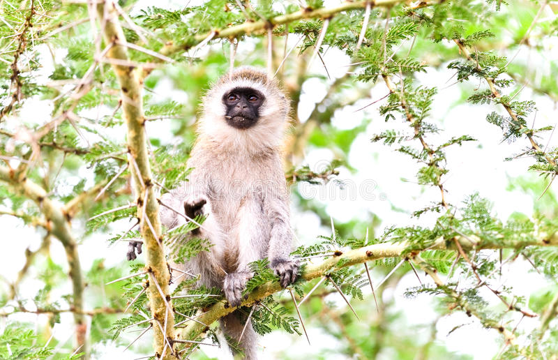肯尼亚猴子 图库摄影