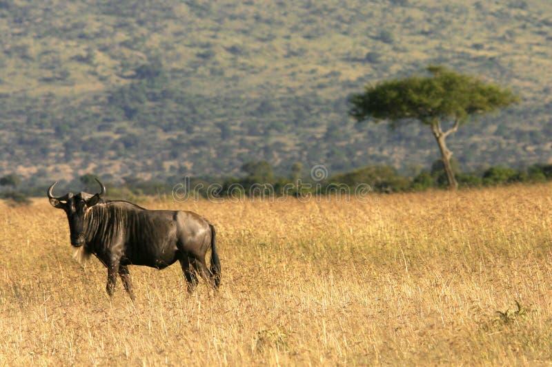 肯尼亚角马 图库摄影