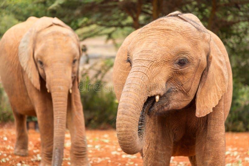 肯尼亚非洲内罗毕的大象孤儿院里的两头小象 免版税图库摄影