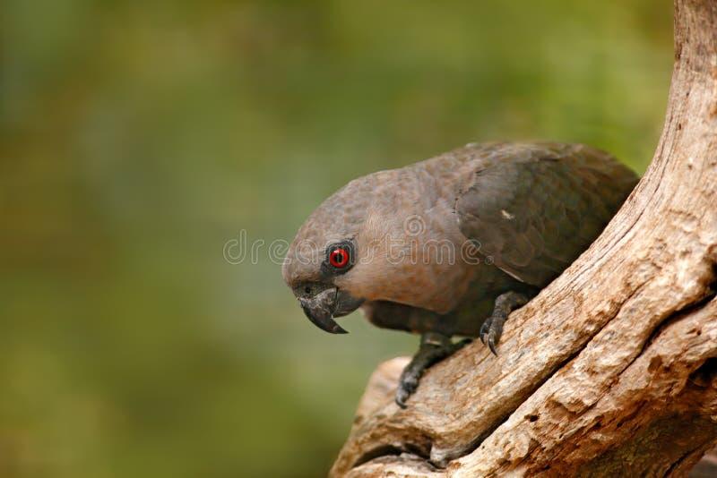 从肯尼亚,非洲的鸟 红鼓起的鹦鹉Poicephalus rufiventris,与棕色头的画象浅绿色的鹦鹉 细节特写镜头 免版税库存照片
