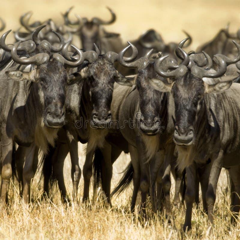 肯尼亚mara马塞人角马 免版税库存照片