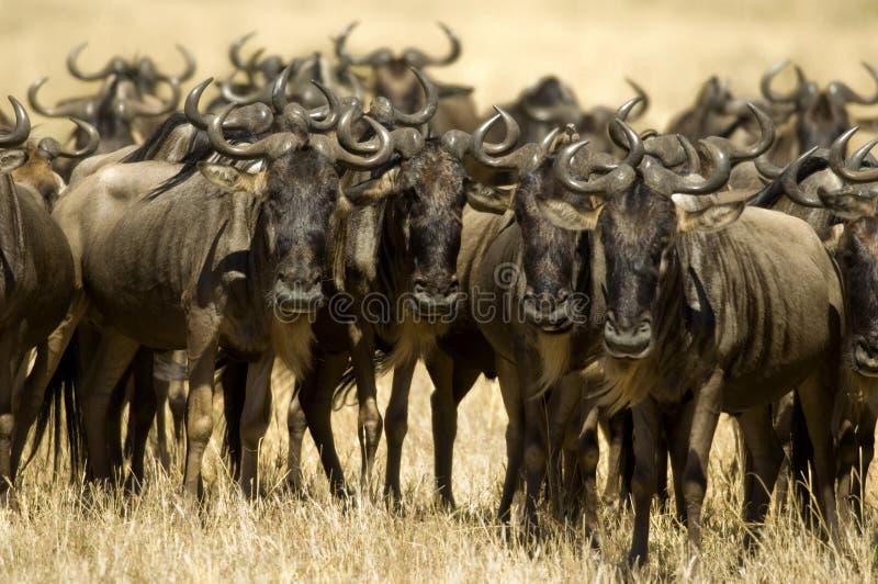 肯尼亚mara马塞人角马 免版税图库摄影