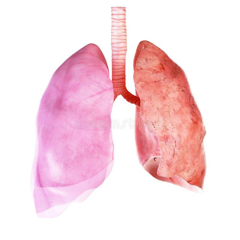 肺和肋膜 皇族释放例证