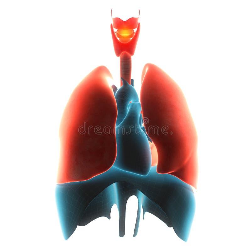 肺器官痛苦 皇族释放例证