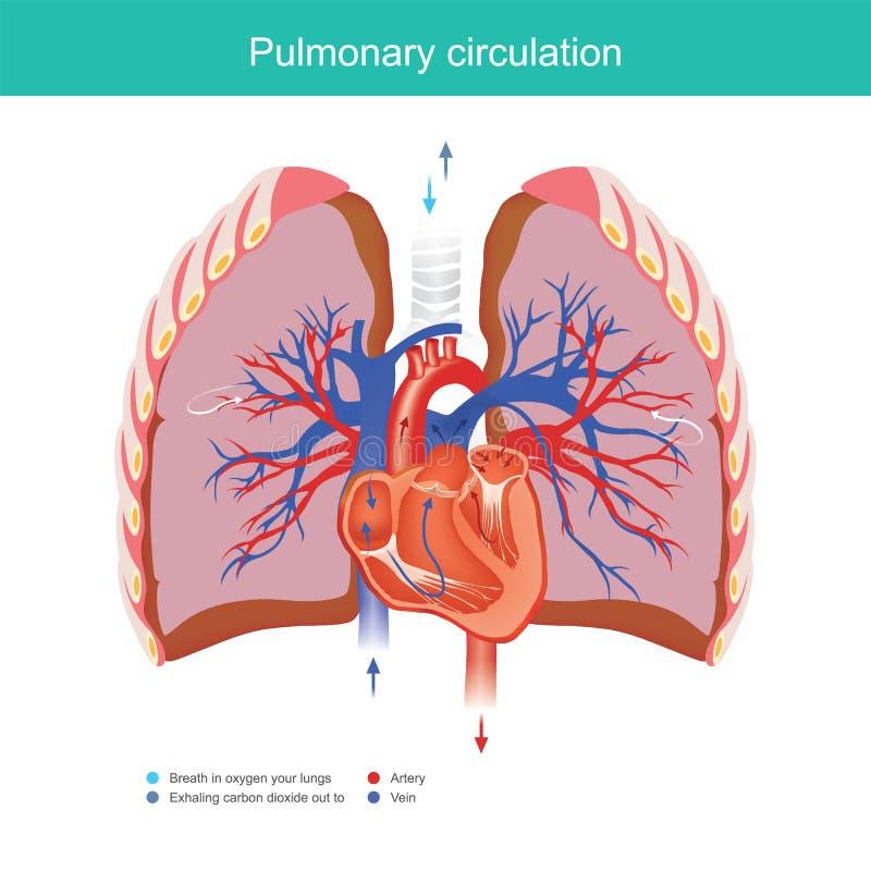肺循环 库存例证