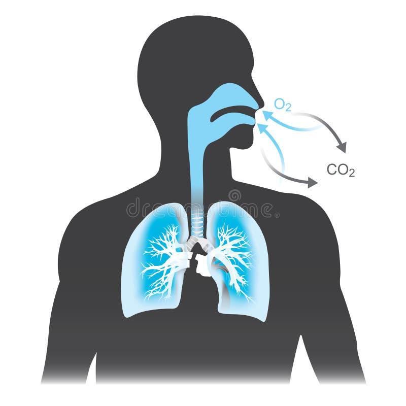 肺是呼吸作用主要器官在人的 向量例证