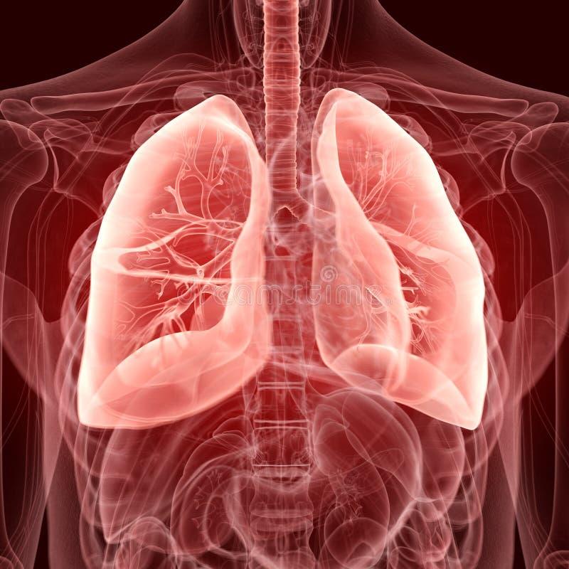 肺 皇族释放例证