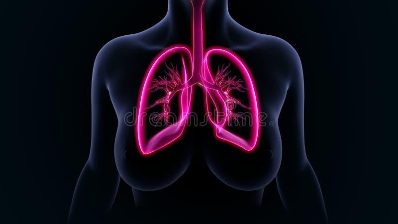 肺 向量例证