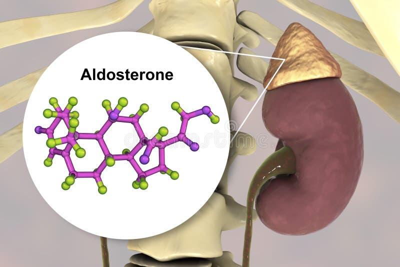肾上腺生产的醛甾酮激素 向量例证