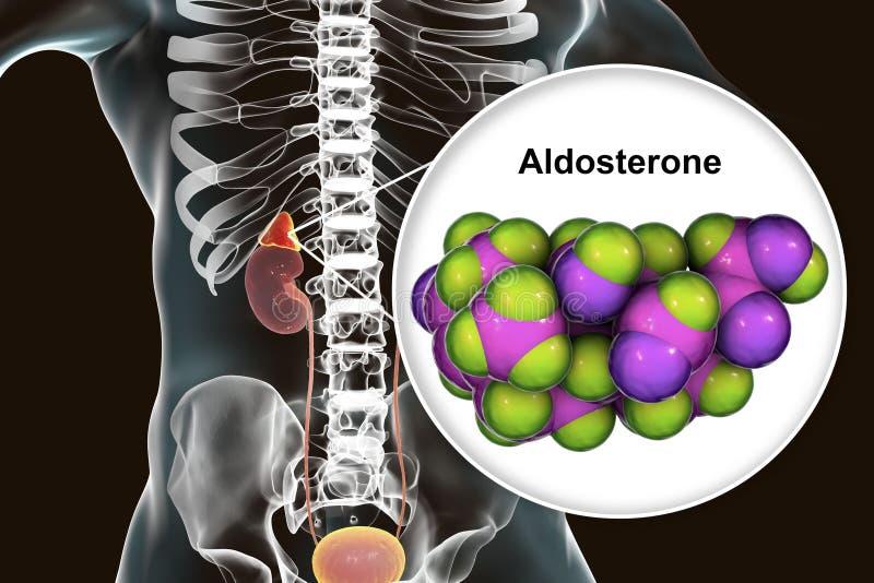 肾上腺生产的醛甾酮激素 皇族释放例证