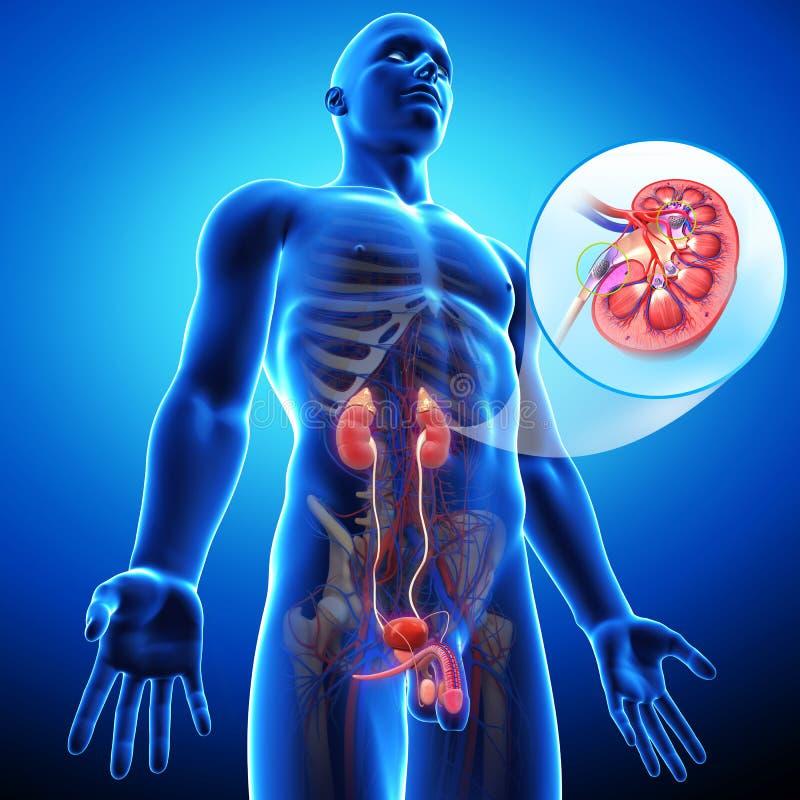 肾结石视图  向量例证