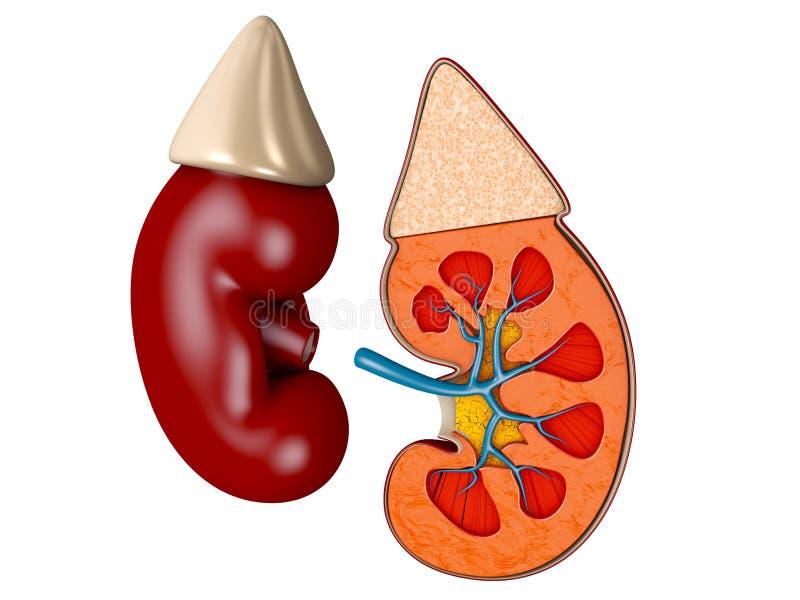 肾脏医疗3d例证的结构 科学医疗教材 向量例证