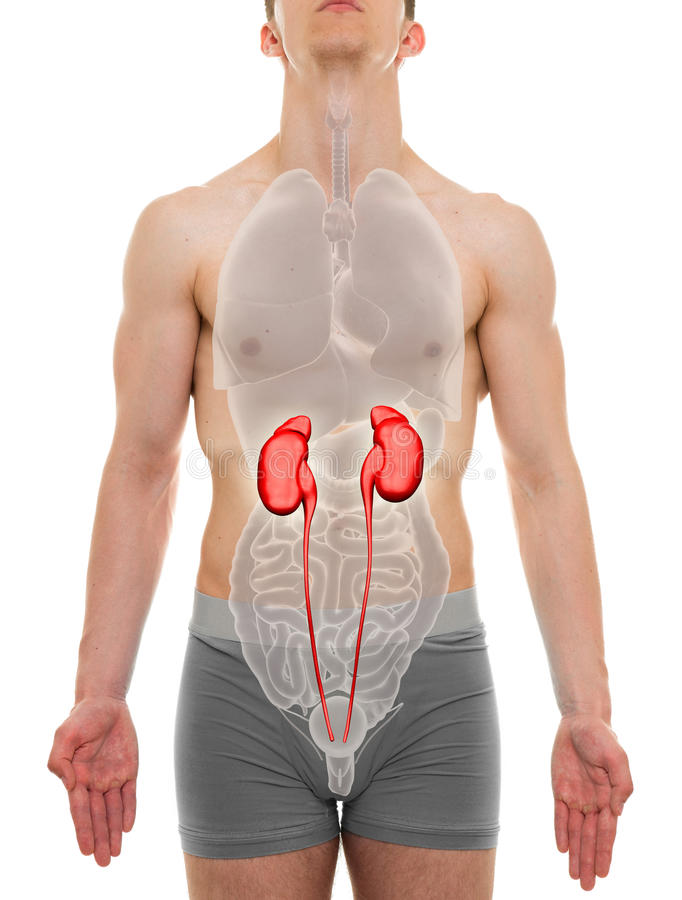 肾脏男性-内脏解剖学- 3D例证 库存照片