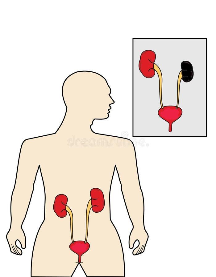 肾脏 库存例证
