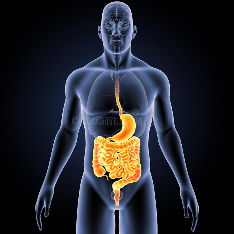 胃和肚腑有器官先前视图 库存例证