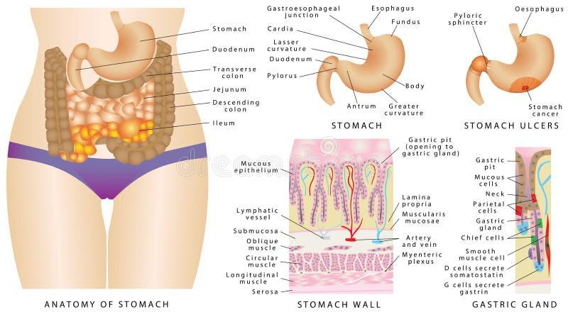 胃解剖学 皇族释放例证