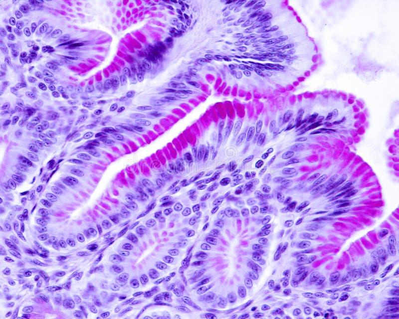 胃黏膜 皮膜 库存照片