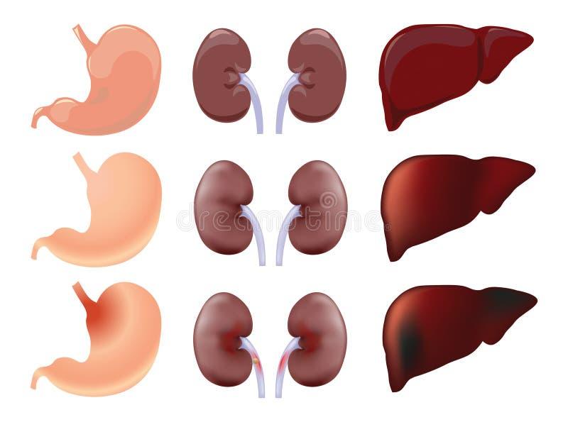 胃,肾脏,肝脏 向量例证