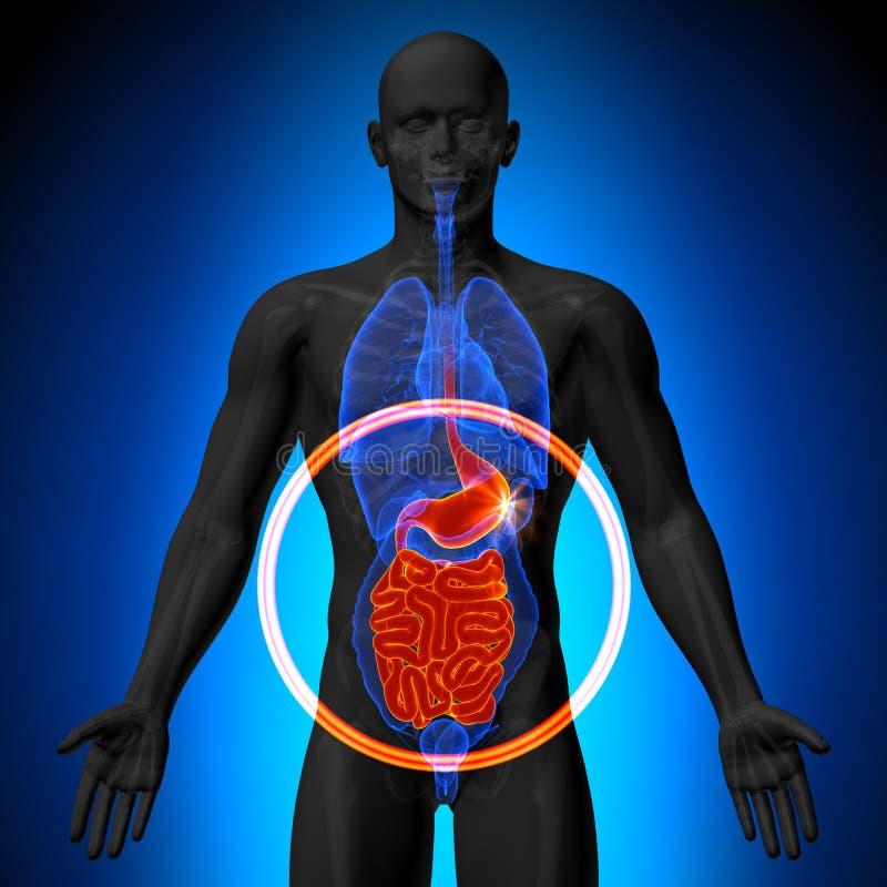 胃/胆量/小肠-人体器官男性解剖学- X射线辐射看法 库存例证