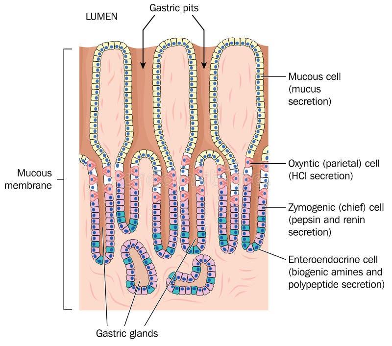 胃黏膜细节  皇族释放例证