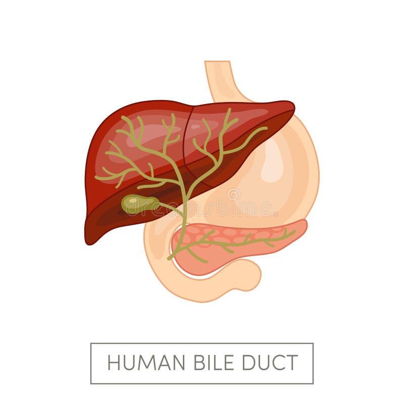 胆囊输送管 向量例证