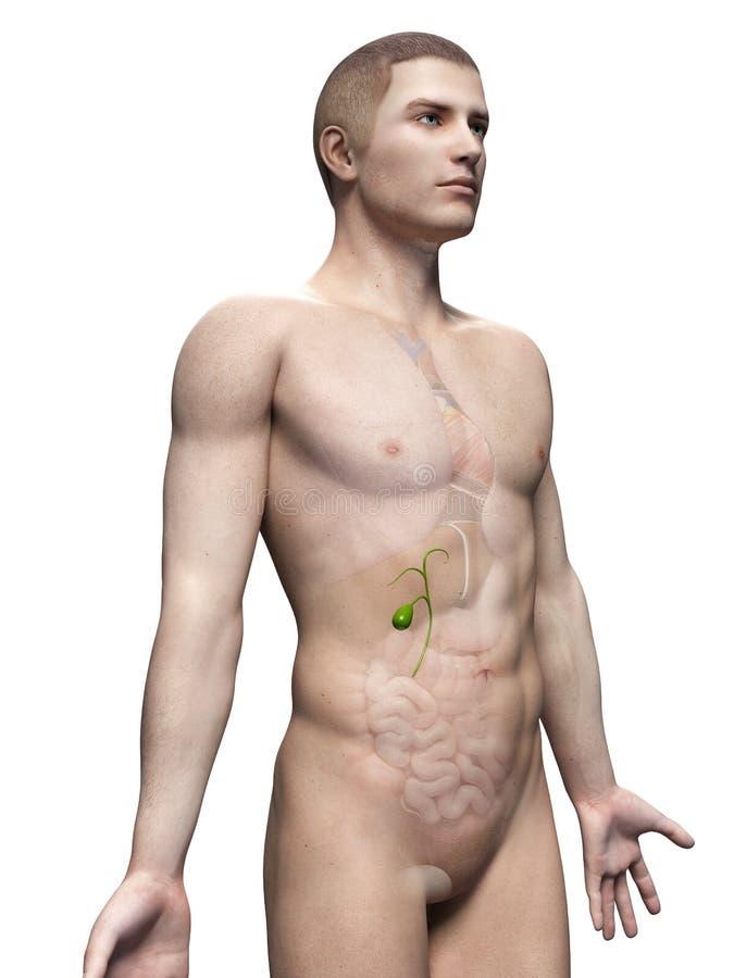 胆囊 库存例证