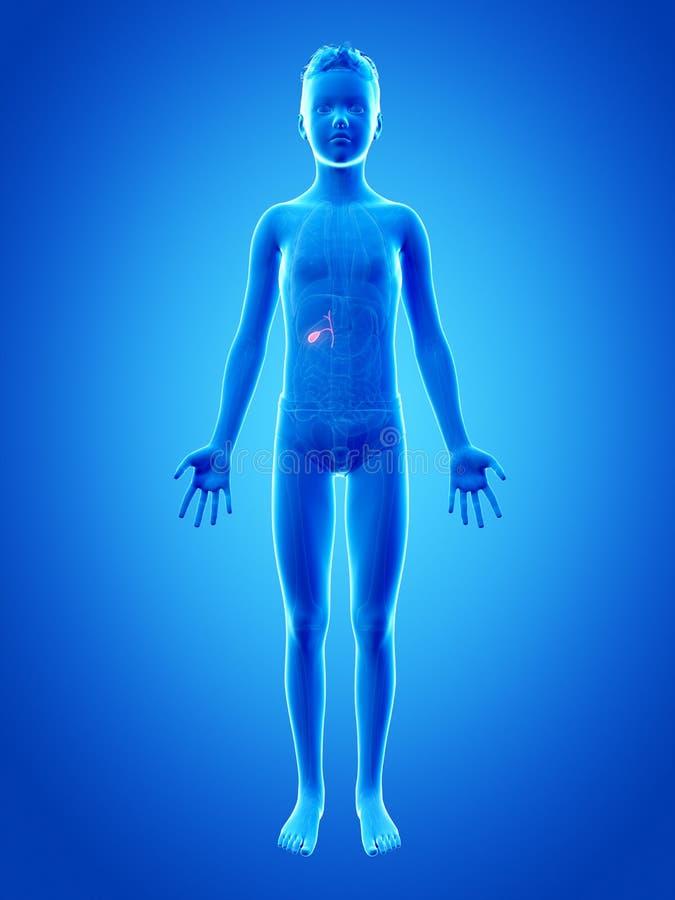胆囊 向量例证