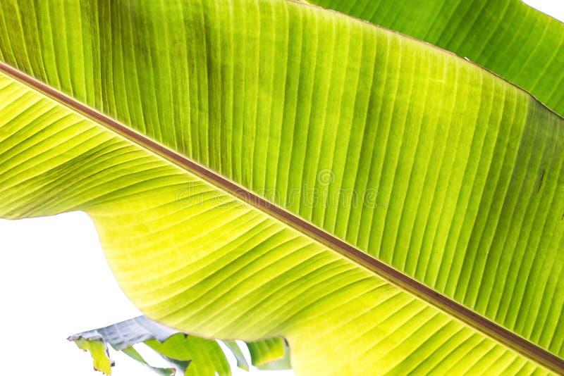 背后照明新鲜的绿色香蕉树纹理抽象背景离开 宏观图象美好的充满活力的热带尖的叶子foliag 库存照片