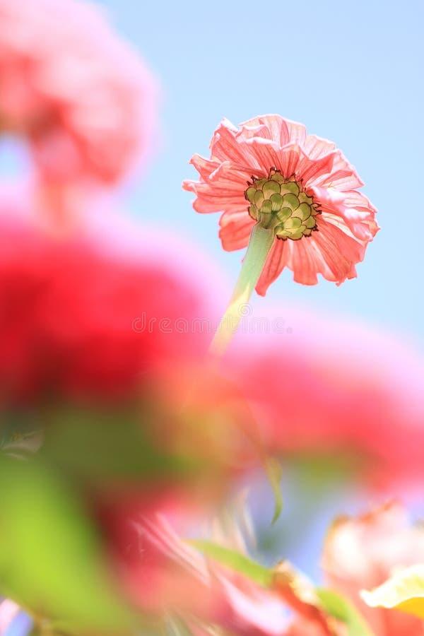 背后照明桃红色花在蓝天下 免版税库存图片