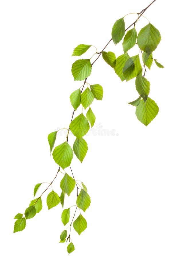 背后照明桦树优美的枝杈 免版税库存图片