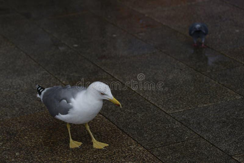 背景中的白海鸥和鸽 向量例证