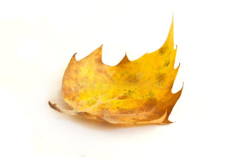 背景五颜六色的叶子线路mapple亮光 图库摄影