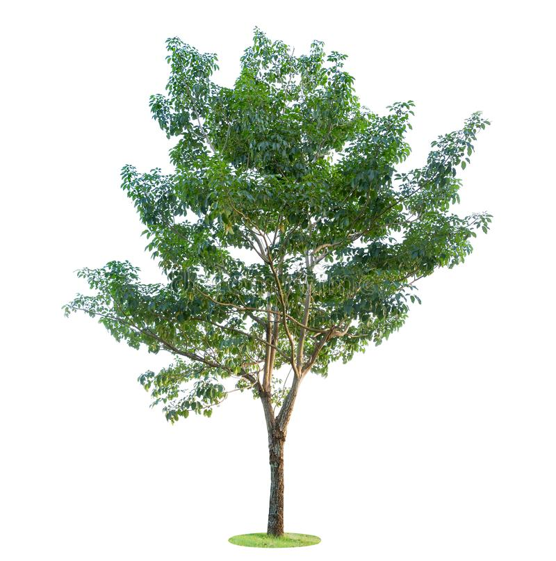 背景例证图象查出的结构树向量白色 美丽和健壮树在森林、庭院或者公园里增长 图库摄影